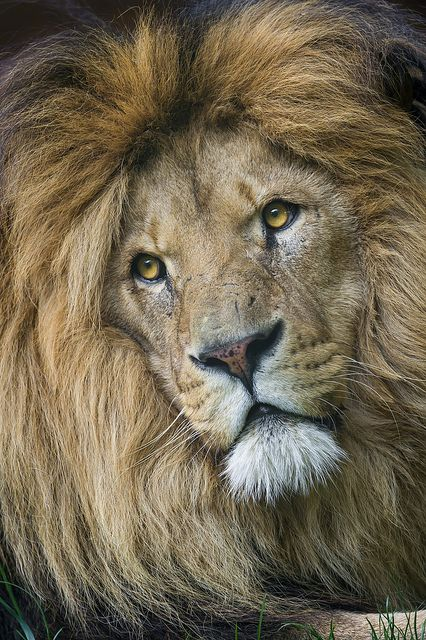 A nice portrait of handsome lion