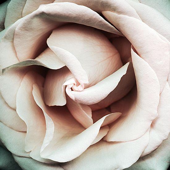 Rose//