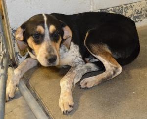 Regis #78 is an adoptable Hound Dog in Ashland, KY. Regis #78 came into the shelter as a stray but no one came for him. He was found with another dog and that dog has been adopted so now it is Regis ...