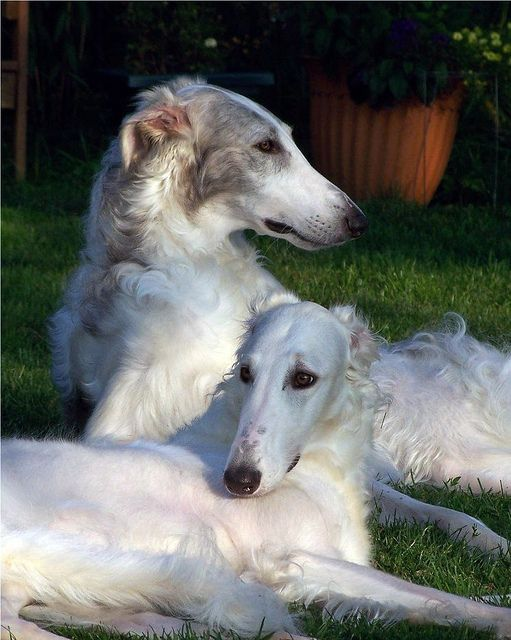 Borzoi are so gorgeous. Photo by Ferlinka www.flickr.com/ph...