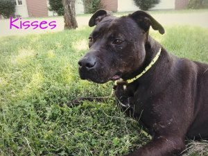 Kisses- SPONSORED!!! is an adoptable Pit Bull Terrier Dog in Toledo, OH. If you want a lot of kisses, I am your girl just like my name says! My name is Kisses I am a 2 year old pitbull/hound mix. I am...
