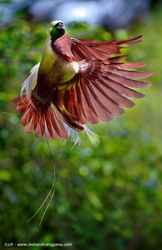 Bird-of-Paradise (Cendrawasih)
