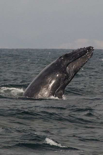 Whale-Watching off Isla de la Plata (Ecuador). 'In terms of sheer awe-inspiring natural power, experiencing first-hand the breaching of a humpback whale is hard to equal. From June to September every year nearly 1000 of these majestic creatures migrate to the waters off the coast of Ecuador. The prime base for organizing boat trips, during which you might also spot dolphins and killer, pilot and beaked whales, is the fishing town of Puerto López.' www.lonelyplanet....