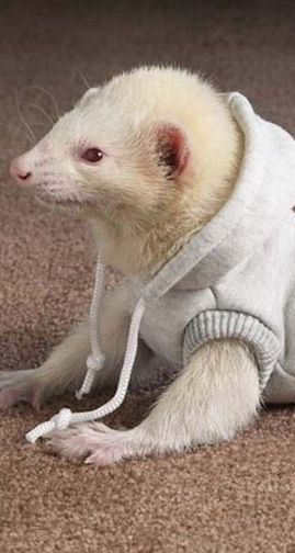 Cute Pet Ferret In A Sweat-Shirt