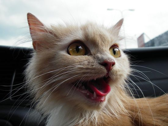 Angre Cat Desktop Wallpaper