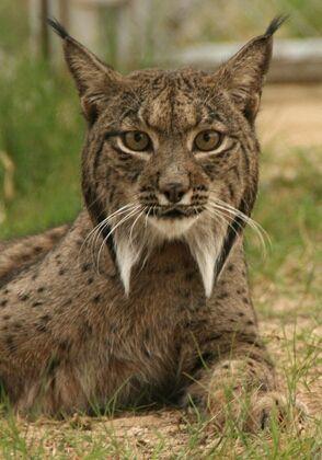 Iberian lynx, the most endangered feline in the world.