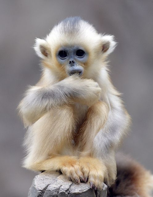 The cutest  Golden monkey