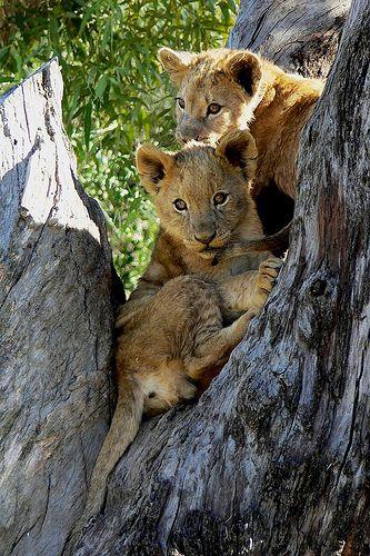 ~~Lion cubs by Arno Meintjes Wildlife~~