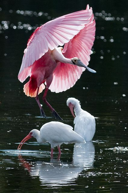 Spoonbill & Ibis ? ?  www.paintingyouwi...