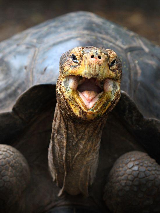 Grinning Galapagos tortoise.
