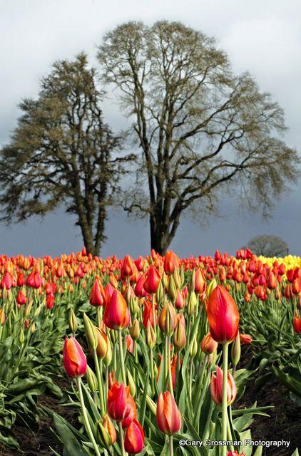 Oak & Tulips in Oregon's Willamette Valley