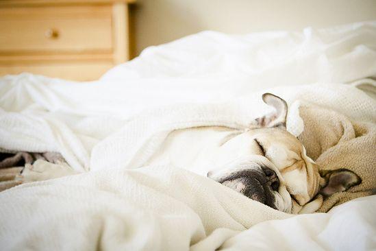 ~Dreaming Bulldog~