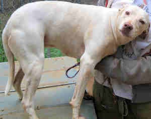 GEORGIA ~ meet Caroline is an adoptable English #Pointer #Dog in Dawson- 2 1/2 hrs S of #Atlanta. Caroline is a pure bred pointer who was given up by a guy who did not want her anymore because she is gun shy. Caroline is 4-5 years old and...#Adopt Caroline at Humane Society of Terrell County     Dawson, GA 39842-0311   Phone: 229-995-7845  Email: mailto:Hstcoinfo@...