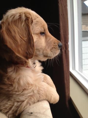 Golden retriever pup at the window