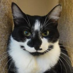 Dorian: an adoptable Domestic Short Hair cat at A.D.O.P.T. Pet Shelter in Naperville, IL