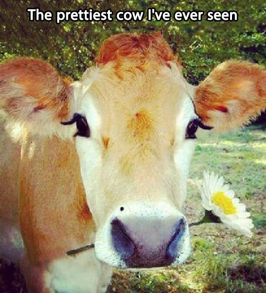 That awkward moment when the cow is prettier than you..... Hahahaha.
