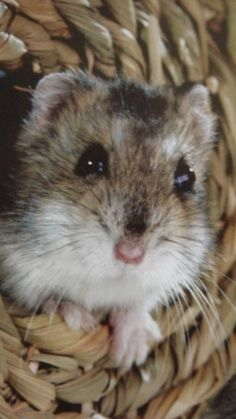 Cute Pet Gerbil