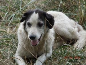 Adopted! Patches ***PLZ SPONSOR ME!*** is an adoptable Australian Shepherd Dog in Leslie, AR. Patches is an owner surrender who needs extensive work to help her regain her confidence, plus, she has a severe ca...
