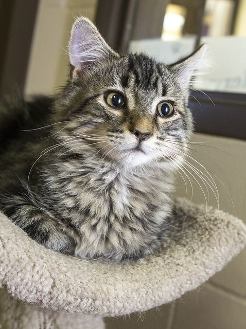 Jojo - 4.5 month old Spayed Female cat. Very playful; Friendly; Sweet. Adoption fee: $75