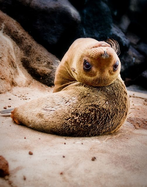 Galapagos sea lion pup photographed by Ray Kent