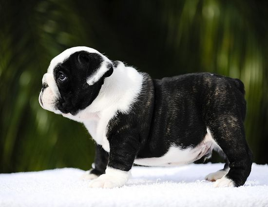 I have the biggest crush ever on black and white English bulldogs (they're immensely rare). #black #white #brindle #cute #dogs #puppies #bulldog #English #pets #animals
