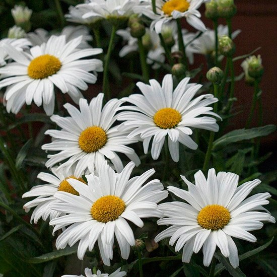 I have LOTS of Shasta Daisies planted in my yard!  So happy looking!