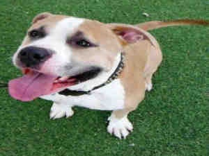 POPPI is an adoptable American Staffordshire Terrier Dog in Mesa, AZ.  ... #dog #animal #american #staffordshire #terrier