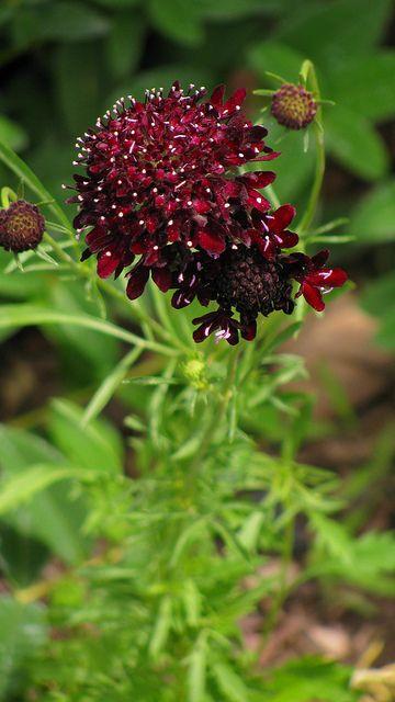 "My Scabiosa atropurpurea ""Summer Fruits"""