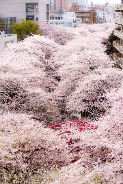 Cherry blossoms in full bloom, Meguro River, Tokyo, Japan