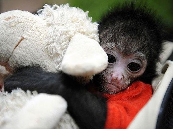 Cute Baby Animals - Chimpanzee