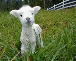 Baby lamb. Reminds me of my grampa's farm.