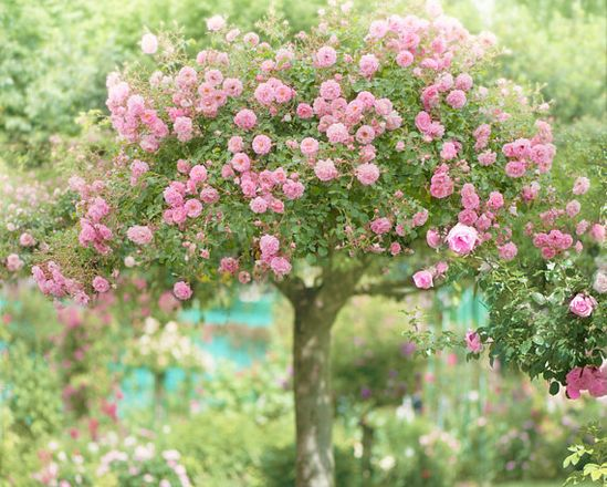 The Rose tree at Giverny...