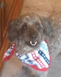 Petey: Poodle, Dog; Gonzales, LA  Adopt a pet