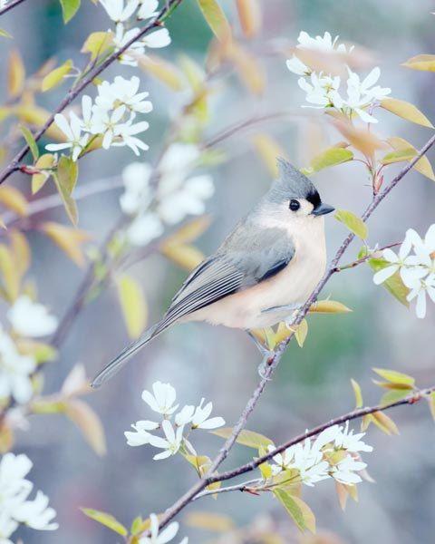 Tufted Titmouse Bird Photography Print, Nature Photography, Bird Print, Bird Art Print, Bird Photo, Woodland Animal Art Print 5x7 8x10 11x14...