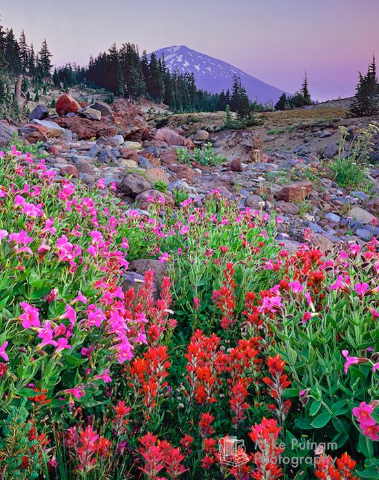 Mt. Bachelor's Garden near Bend, Oregon.  A beautiful array of alpine wildflowers in front of Central Oregon's Mt. Bachelor, the largest ski resort in the Pacific Northwest.