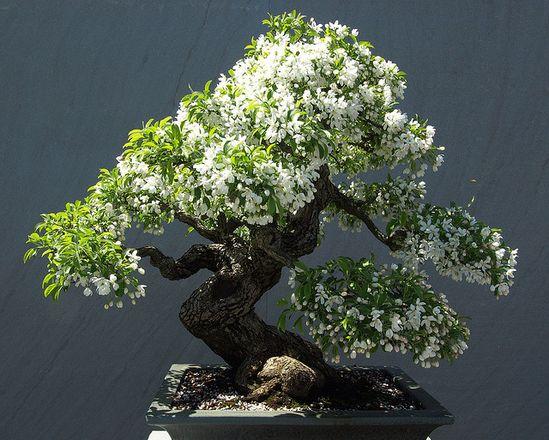 Blooming bonsai