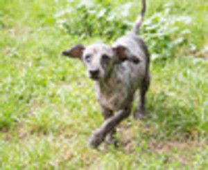 I'VE BEEN ADOPTED!!!   Pierre is an adoptable Poodle Dog in Liverpool, NY. I'm Pierre and I'm full of love to give !? I'm a senior dog but still looking for a forever home - a quiet home and one that is right for me !? I do...