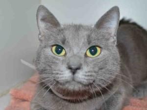 JEWEL is an adoptable Domestic Short Hair Cat in Martinez, CA.  ...