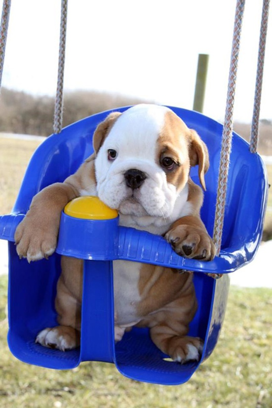 swinging Bulldog puppy
