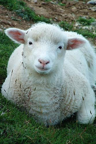 Lamb, via Flickr.