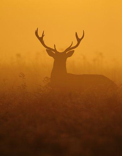 Red Deer Stag at daybreak....