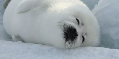 This seal who loves the smell of fresh snow.