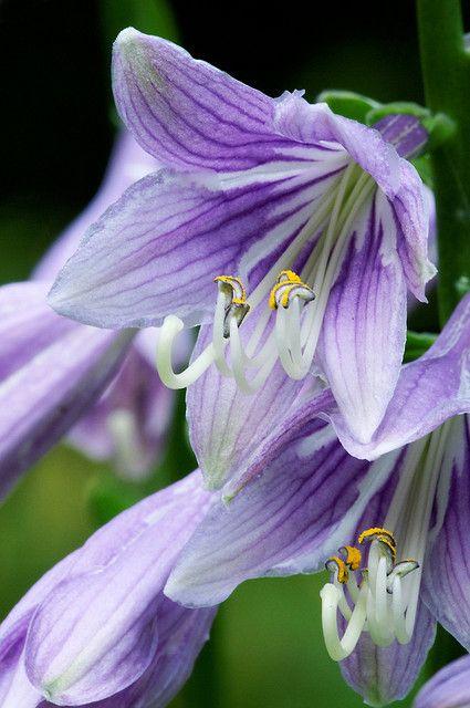 Hosta flower macro