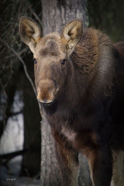 Moose Calf!