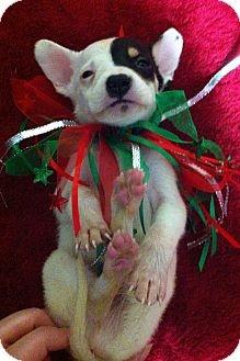 Adopt a Pet :: Comet - Davie, FL - Terrier (Unknown Type, Medium) Mix
