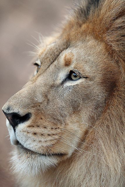 Our own #Lion King, the regal M'bari
