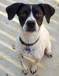 Lucky Lucy is an #adoptable Pointer Dog in #Charlotte, #NCAROLINA. 09-08-12 Lucky Lucy was saved from some wonderful dog friendly folks. She had been running along a busy stretch of highway, but she knew a goo...