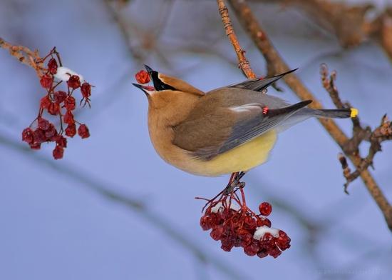 bird eating berry #nature #animals #photography