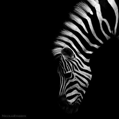 Zebra by Nicholas Evariste (white on black!)