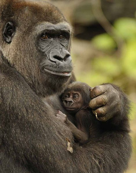 Western lowland gorilla mother and baby at Disney's Animal Kingdom